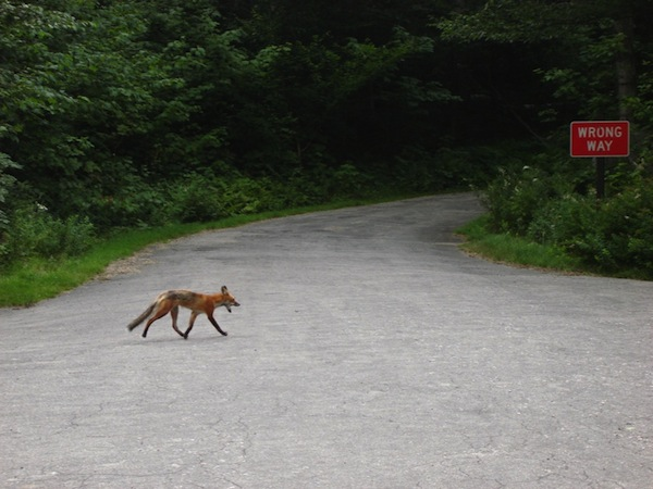 a fox trots across a paved road