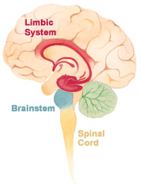 The human brain, showing limbic system